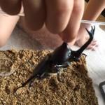 カブトムシを発見