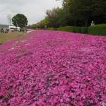 4月1日〜20日まで毎年恒例の芝さくらまつりが、相模川新磯地区河川敷にて行われております。