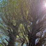 お隣の畑にあるイチョウの木々を撮影しました。