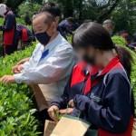 上中伝統の茶摘み